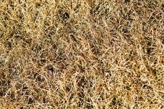 Hierba marrón muerta Imagen de archivo libre de regalías