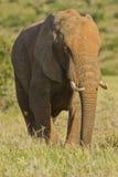 Hierba masculina de la consumición del elefante Foto de archivo libre de regalías