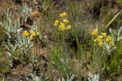 Hierba medicinal en área de la reserva de naturaleza de Kwazulu Natal del castillo de Giants Imagen de archivo