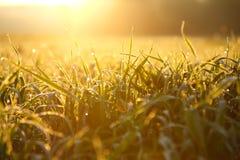 Hierba mojada de la madrugada Fotos de archivo libres de regalías