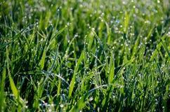Hierba mojada retroiluminada por el sol naciente Fotos de archivo libres de regalías