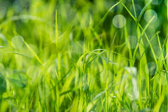 Hierba mojada verde en el campo del verano, fondo con el bokeh natural Imagen de archivo libre de regalías