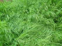 Hierba muy verde Fotos de archivo libres de regalías