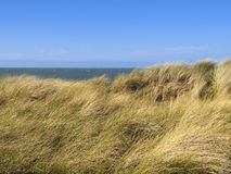 Hierba o Beach-grass europea de la arenaria en una duna Fotos de archivo libres de regalías