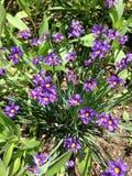 Hierba observada azul Fotografía de archivo libre de regalías