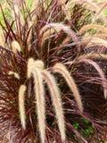Hierba ornamental Foto de archivo libre de regalías