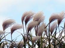 Hierba ornamental en el viento fotos de archivo
