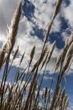Hierba ornamental, Irlanda, 2015 Foto de archivo libre de regalías