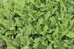 Hierba perenne verde que crece en jardín Fotografía de archivo libre de regalías