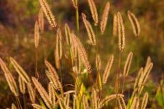 Hierba que brilla en el prado en contraluz Fotografía de archivo libre de regalías