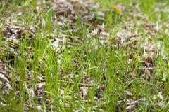 Hierba que crece a través de las hojas del año pasado Imagenes de archivo