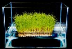 Hierba que cultiva un huerto hidropónica Imagen de archivo libre de regalías