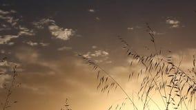 Hierba que se mueve con el viento en la puesta del sol con el sol en el fondo con efecto del enfoque almacen de metraje de vídeo