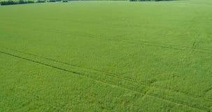 hierba que sopla de la granja del abejón 4K del viento aéreo del prado almacen de metraje de vídeo