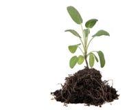 Hierba sabia verde que planta con las expos de la suciedad y de las raíces Fotografía de archivo libre de regalías