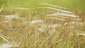 Hierba salvaje en el campo que agita en el viento - primer