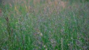 Hierba salvaje hermosa en el prado, fragmento almacen de video