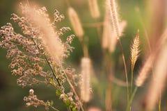 Hierba salvaje seca en fondo borroso del bokeh Foto de archivo libre de regalías