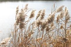 Hierba seca cerca del agua Fotografía de archivo libre de regalías
