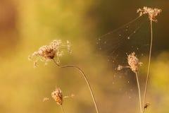 Hierba seca con el web de araña iluminado por puesta del sol imagen de archivo