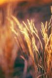 Hierba seca de Autumn Nature Natural Background Of Bokeh, hierba de Boke Imagen de archivo libre de regalías