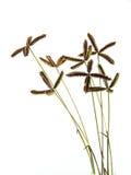Hierba seca de la flor en el fondo blanco Fotografía de archivo libre de regalías
