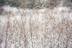 Hierba seca en la nieve Fotos de archivo libres de regalías
