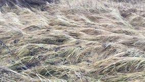 Hierba seca video sobre el movimiento rápido del bosque metrajes