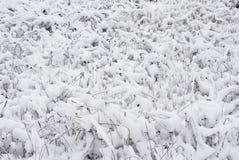 Hierba seca vieja. Nieve fresca Imagen de archivo libre de regalías
