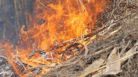 Hierba seca y ramas ardiendo cercanas encima de la visión Fuego salvaje peligroso en la naturaleza almacen de video