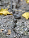 Hierba-serpiente Foto de archivo
