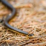 Hierba-serpiente, serpiente en primavera temprana fotos de archivo libres de regalías