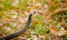 Hierba-serpiente, serpiente en primavera temprana imagen de archivo libre de regalías