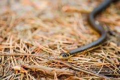 Hierba-serpiente, serpiente en primavera temprana imagenes de archivo