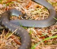 Hierba-serpiente, serpiente en primavera temprana foto de archivo