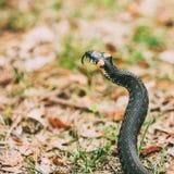 Hierba-serpiente, serpiente en primavera temprana imágenes de archivo libres de regalías