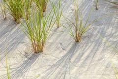 Hierba soplada viento en la duna de arena Fotos de archivo libres de regalías