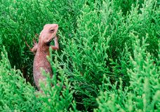 Hierba Sunny Day del camaleón Fotos de archivo libres de regalías