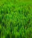 Hierba verde Fotografía de archivo