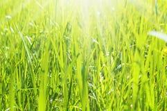 Hierba verde Imagenes de archivo