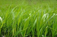Hierba verde. Imágenes de archivo libres de regalías