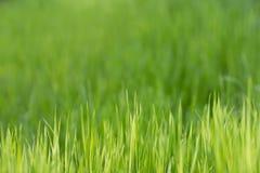 Hierba verde Fotos de archivo libres de regalías