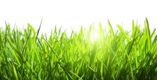 Hierba verde aislada Imagen de archivo libre de regalías