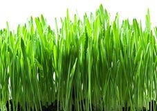 Hierba verde aislada Foto de archivo