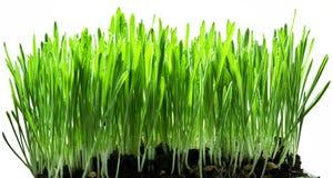 Hierba verde aislada Foto de archivo libre de regalías