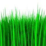 Hierba verde aislada en blanco Foto de archivo