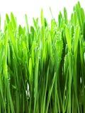 Hierba verde aislada en un blanco Imagenes de archivo