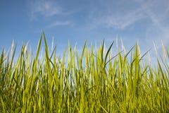 Hierba verde bajo el cielo claro azul Imagenes de archivo