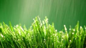 Hierba verde bajo la lluvia Imagen de archivo libre de regalías