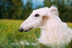 Hierba verde blanca de Sit Outdoor In Summer Meadow del perro de caza de Gazehound Foto de archivo